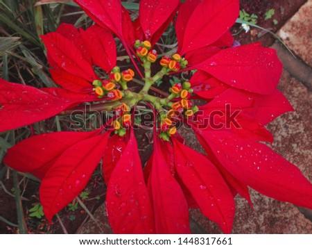 Red Poinsettias Malagasy Variety; Antananarivo, Madagascar, Shot during cold and dry season