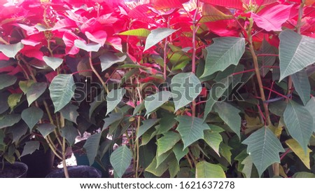Red Poinsettias with green leaf morning shine