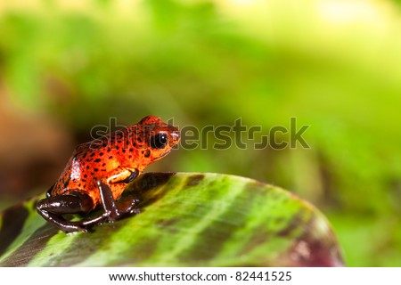 red poison dart frog sitting on leaf with copy space. Exotic rain forest animal with bright vivid colors. Untamed tropical nature. Jewel of the rainforest Dendrobates pumilio.