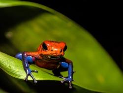 Red poison dart tree frog on green leaf