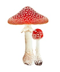 Red poison mushroom amanita, fly agaric isolated on white background.