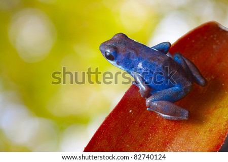 red poison strawberry frog on leaf in tropical jungle of Panama and Costa Rica. Beautiful bright colors background with copy space. Animal kept as pet in a terrarium. Amphibian of exotic rainforest.