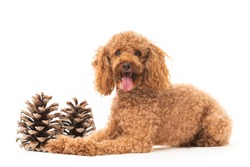 Red poodle isolated on white background
