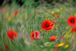 Red poppies amidst other wild flowers in a grassy meadow, with radial motion blur in the background.
