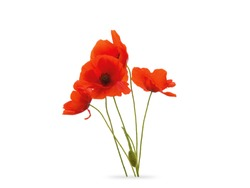 Red Poppies Bloom Flower Isolated White Background
