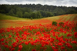 Red poppies field, summer colorful background. Meadow spring blooming grass. Summer garden scene