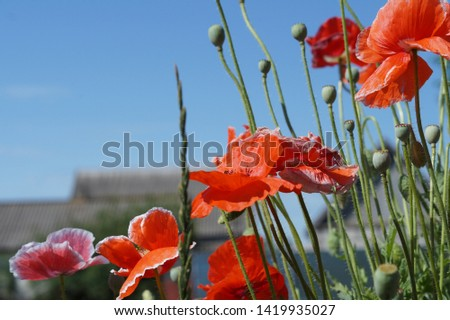 Red poppies flowers meadow summer landscape.Beautiful landscape of red poppies and pink flowering plants against the blue sky.The poppy fruit is a box, as if closed on top of a round carved lid.