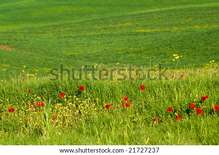 Red poppies in a field in the Tuscany region of Italy.