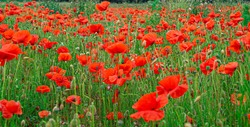 Red Poppies in Flanders Fields symbol for remembrance Day WW1 - For textured soft backdrops.