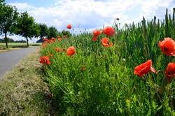 red poppies in front of and in a grain field