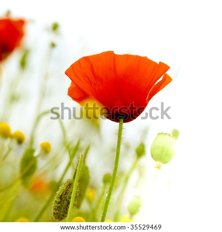 red poppies in nature floral decor on white background