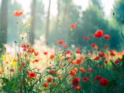 Red poppies in the forest at morning