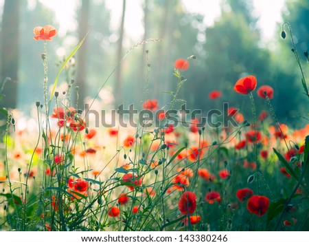red poppies in the forest at...