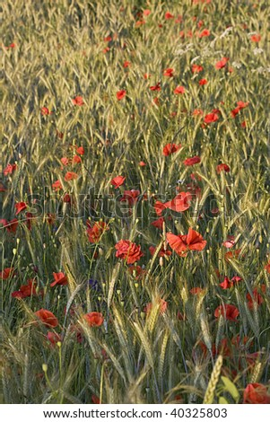 red poppies in yellow cornfield in summertime