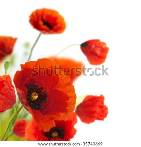 red poppies isolated on a white background in the corner of a page - Floral border - flower decoration