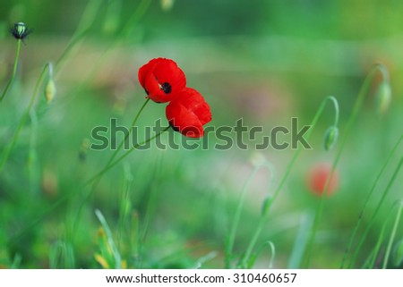 Red poppies on a background of green grass, beautiful