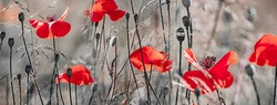 red poppies on a field close up