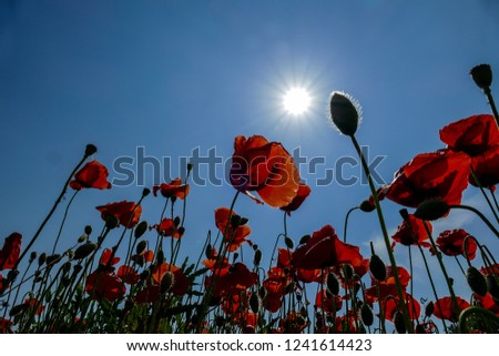 red poppies on background of blue sky, digital picture taken in Italy, Europe