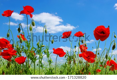 Stock Photo red poppies on green field