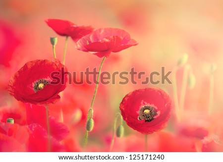 Red poppies on the field with soft filter