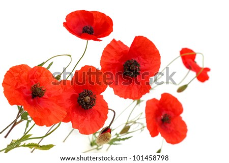 Red poppies over a white background