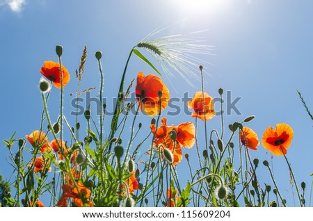 red poppies under blue sky with sun