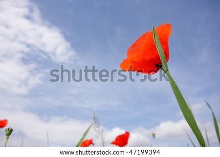 Red poppy against blue sky #47199394