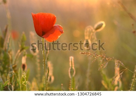 red poppy among green grass. evening sunlight. picture for blog.  picture for title