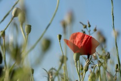 Red poppy amongst poppy seed capsules and other wild flowers, photographed in Gunnersbury, west London, UK
