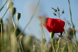 Red poppy amongst poppy seed heads and other wild flowers, photographed in Gunnersbury, west London, UK