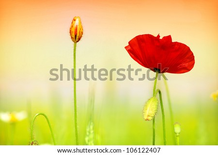 red poppy and grass
