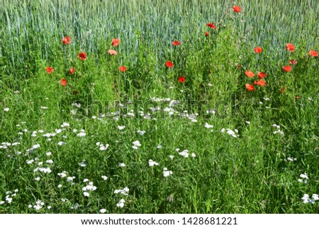 Red poppy and white yarrow on the edge of a wheat field #1428681221