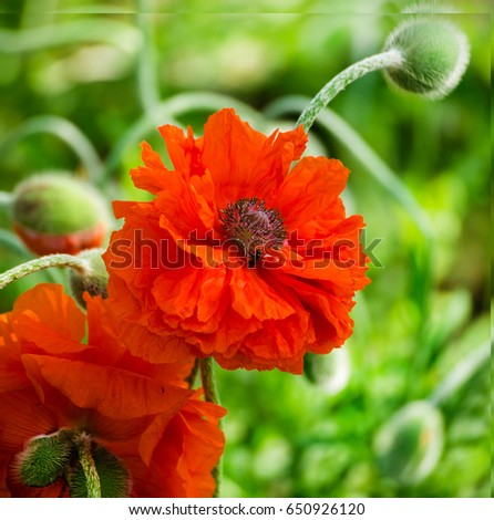 Red poppy blooming on field wild red poppies flowers poppies in red poppy blooming on field wild red poppies flowers poppies in nature macys mightylinksfo