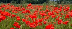 Red Poppy Field Flanders Belgium Battlefield Remembrance background texture image