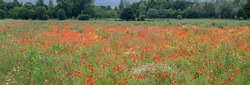 Red Poppy Field Flanders in Belgium background texture image