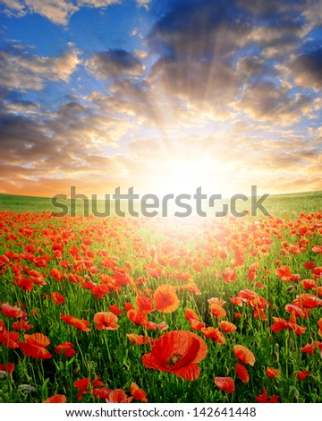 red poppy field in the sunset