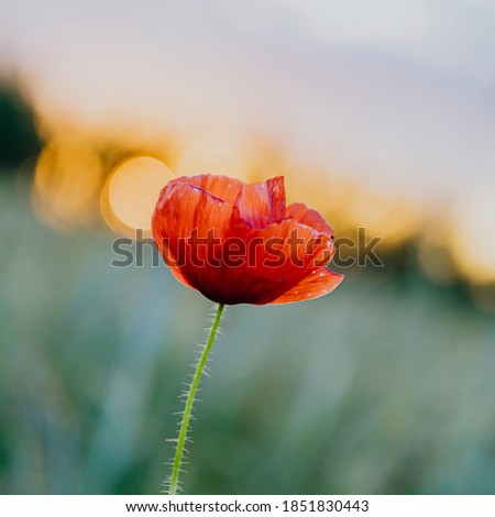 Red poppy flower at sunset in a summer field Stock fotó ©