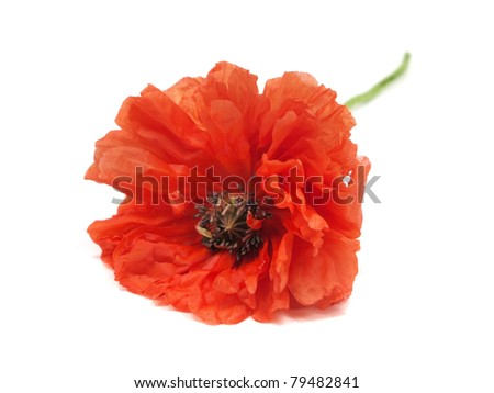 red poppy flower on a white background