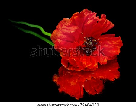 red poppy flower on a white background with water drops