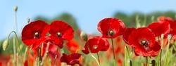 red poppy flowers in a field, banner