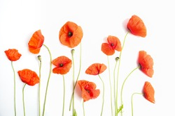 Red poppy flowers in a row on white. Flat lay. Top view
