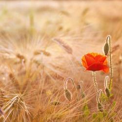 Red Poppy flowers in Beautiful wheat field