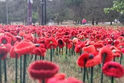 Red poppy flowers in Canberra
