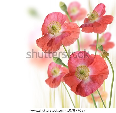 Red Poppy Flowers On White Background