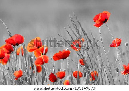Red Poppy flowers with black and white background