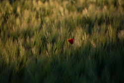 Red poppy growing in a cornfield, its red blossom standing out as a blur of color before the sun-lit corn.