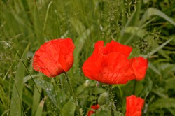 red poppy in the green grass. seasonal spring flowers for Victory Day. poppy flower with a big red box