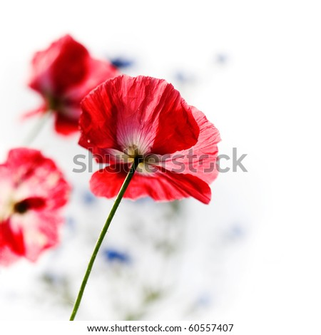 Red poppy in the middle of flower meadow