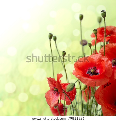 Red Poppy is isolated on a green background.Floral border - flower decoration