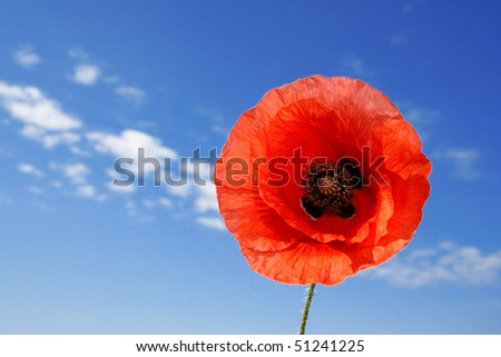 Red poppy on background sky